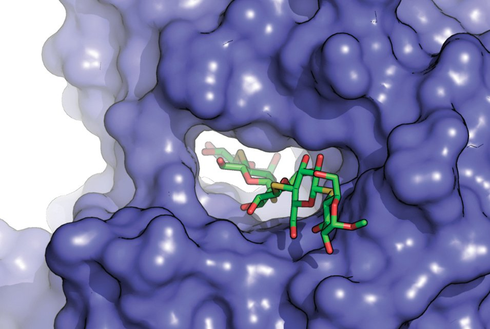A cellulose polymer (green) threads its way through an enzyme called cellobiohydrolase II (blue), which breaks it down.