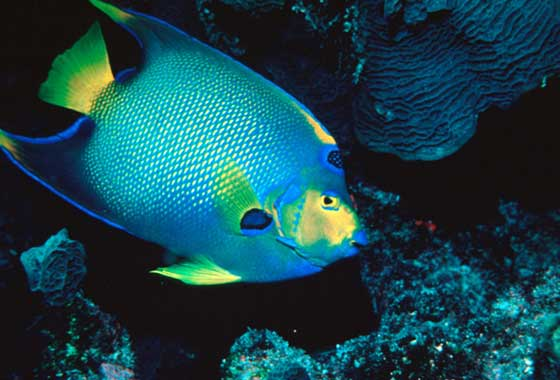 Reef environments provide habitat for hundreds of fish species including the queen angelfish shown here in the Florida Keys National Marine Sanctuary. Credit: Chris Huss.