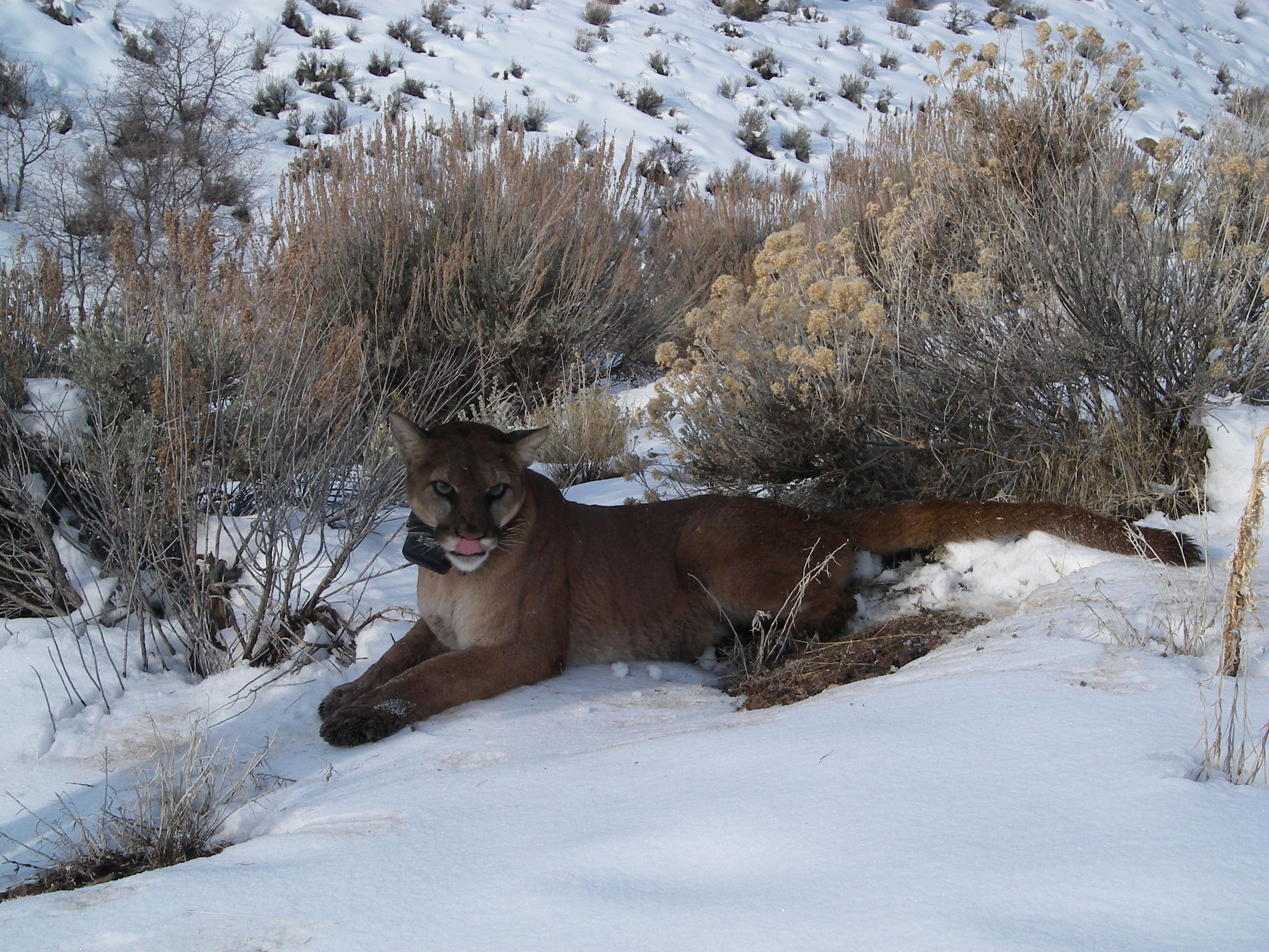 Adult female mountain lion