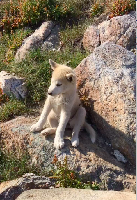 Sled dog puppy, Greenland.