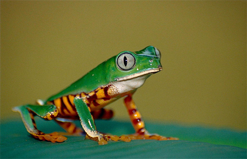 A tiger-striped leaf frog (Phyllomedusa tomopterna) sits on a leaf.