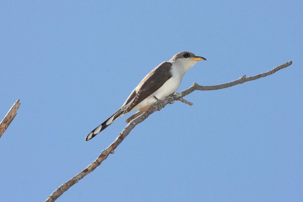 A yellow-billed cuckoo (Coccyzus americanus) sits on a branch.