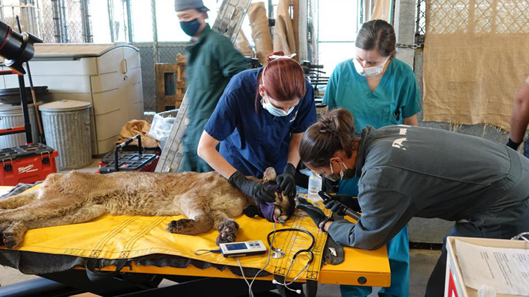 Wildlife rescuers from the California Department of Fish and Wildlife examine a mountain lion with burn injuries from the September 2020 Bobcat Fire