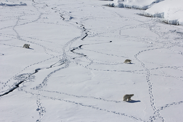 Three adult polar bears travel across sea ice in southeast Greenland.