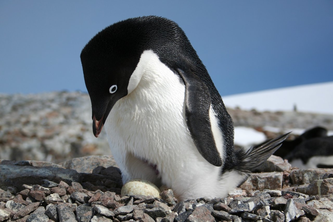 Adelie Penguin with Egg