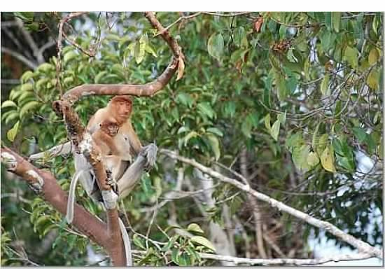 Mom and baby proboscis monkeys