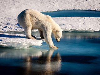 Polar bears across the Arctic face shorter sea ice season