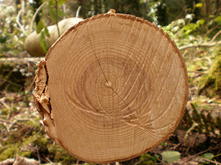 Tree rings provide snapshots of Earth's past climate