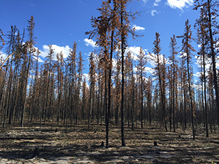 Boreal Forest Fires Could Release Deep Soil Carbon