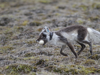 Arctic Animals' Movement Patterns are Shifting in Different Ways as the Climate Changes