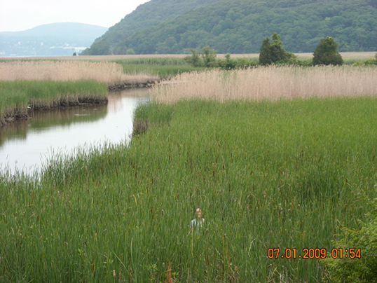 Wetland grasses in the Hudson River National Estuarine Research Reserve are tall and dense enough in mid-summer to almost hide a researcher. Image credit: Dorothy Peteet