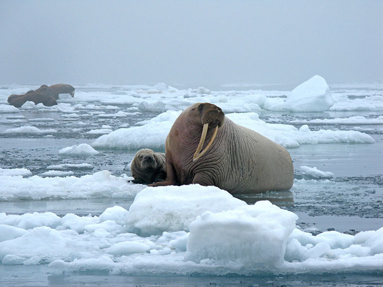 Walruses in the Chukchi Sea during a tagging survey onboard the research vessel Norseman II in June 2010. Credit: U.S. Geological Survey. View larger image.