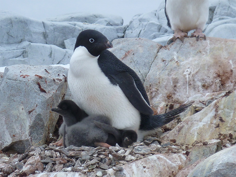 A penguin on rocks shelters its young with its body.