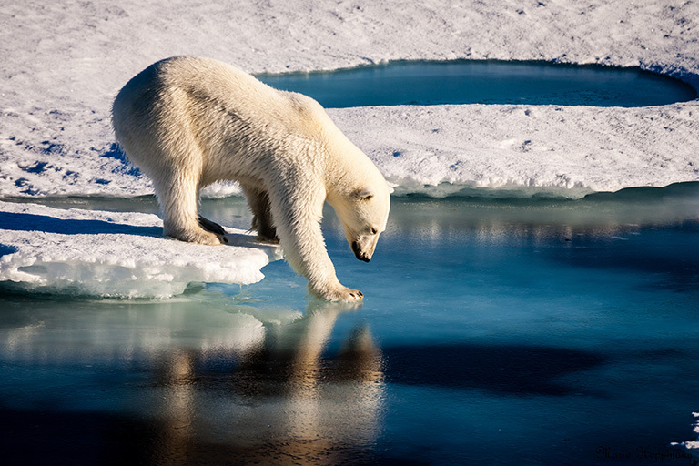 A polar bear tests the strength of thin sea ice. Credit: Mario Hoppmann.