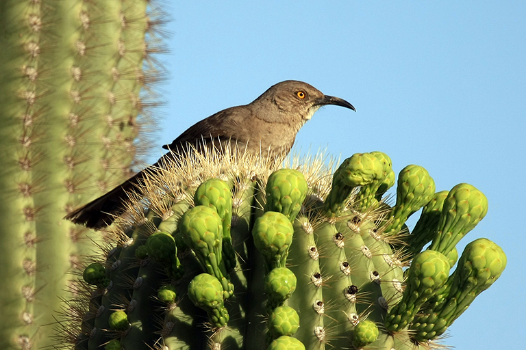 A Texas curve-bill thrasher sits on a cactus. Credit: copyright Seabamirum, via Flickr (CC BY-SA 2.0).