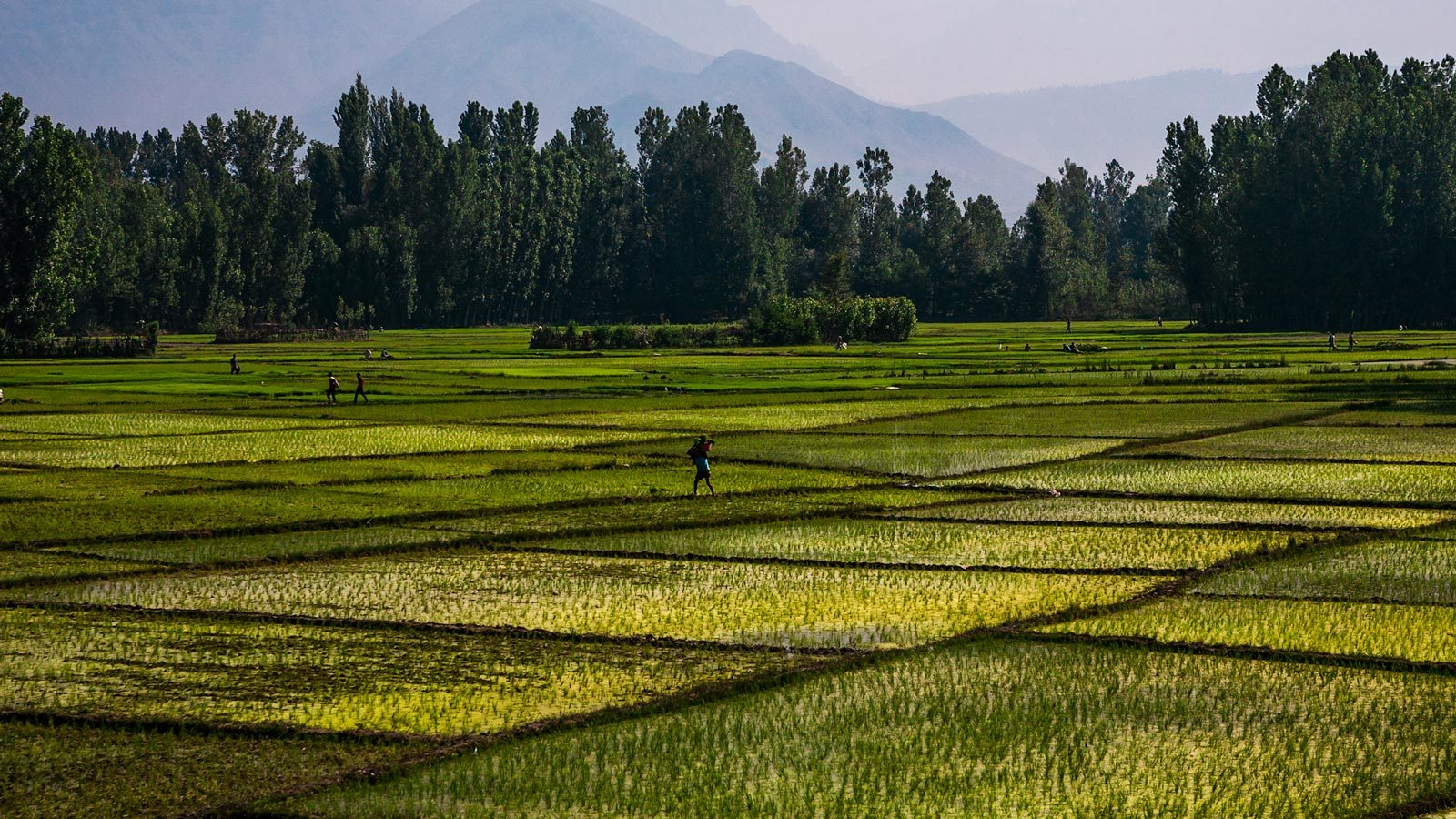 Rice paddy fields in India. Agriculture is one source of global methane emissions.