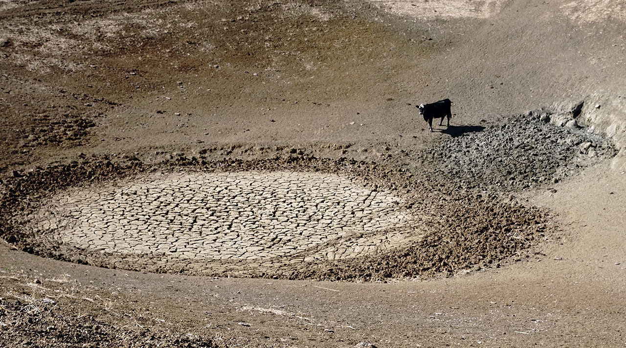 A cow stands next to a dried up watering hole.