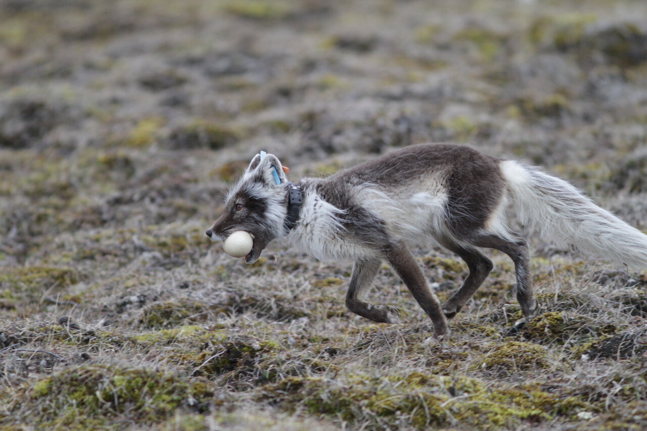 An Arctic fox wearing a satellite GPS collar runs with an egg in its mouth.