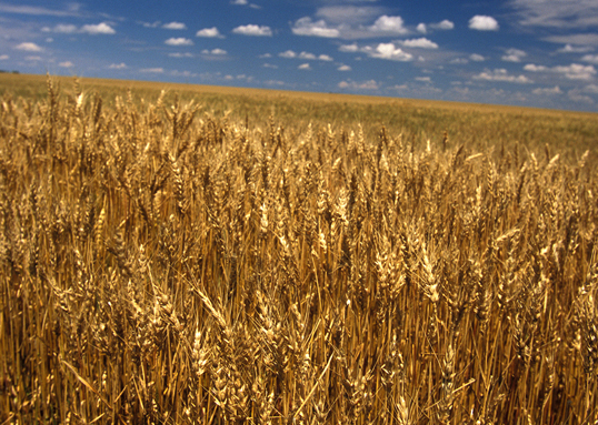 Rice and wheat crop failures can be forecast using climate and crop models in some cases, according to a new study. Above, a wheat field in Nebraska Image Credit: USDA